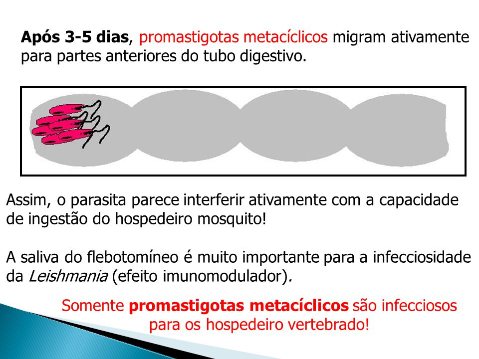 Após 3-5 dias, promastigotas metacíclicos migram ativamente