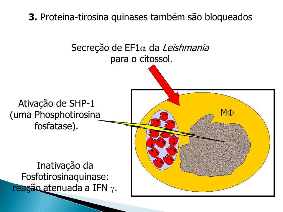 3. Proteina-tirosina quinases também são bloqueados