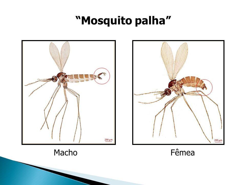 Mosquito palha Macho Fêmea