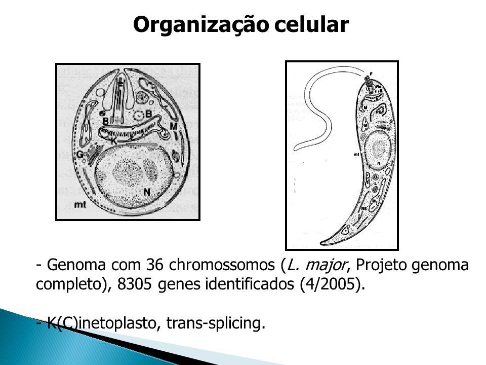 Organização celular Genoma com 36 chromossomos (L. major, Projeto genoma completo), 8305 genes identificados (4/2005).