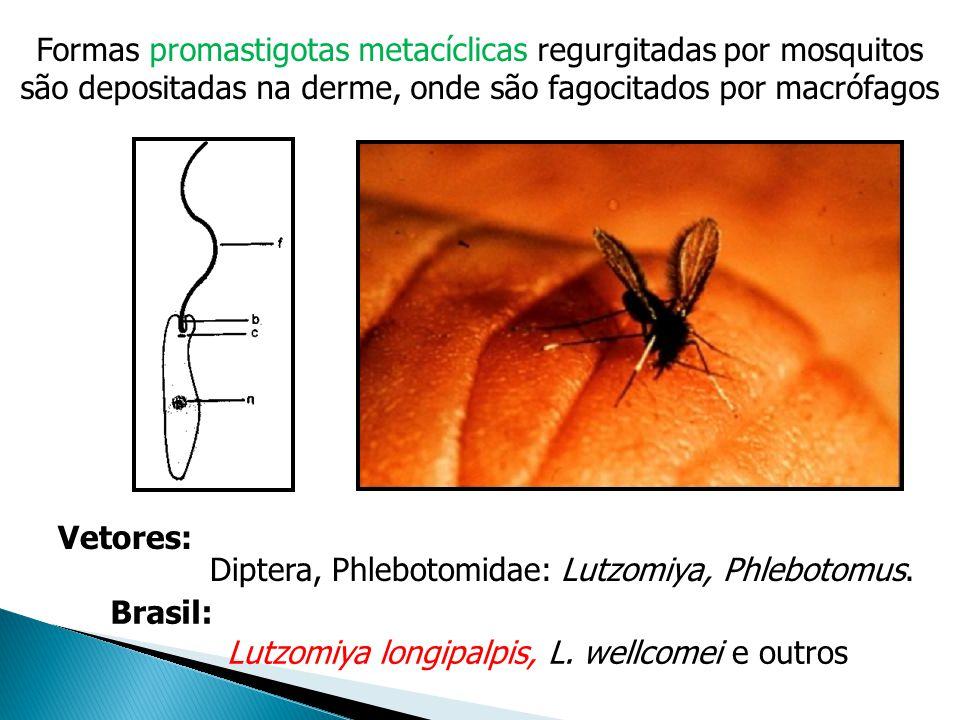 Formas promastigotas metacíclicas regurgitadas por mosquitos