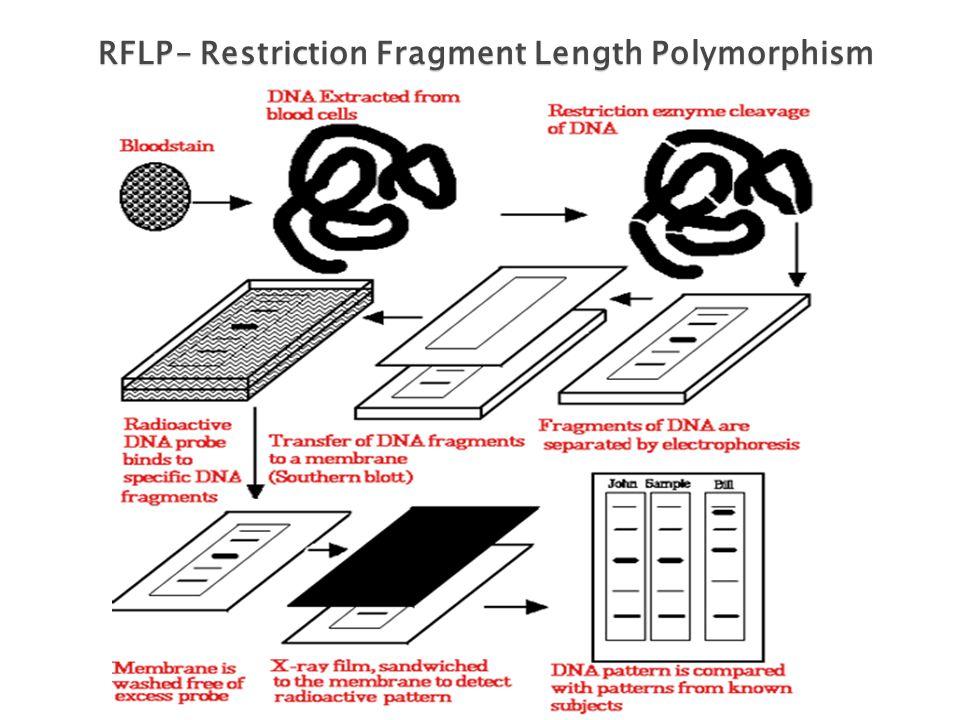 RFLP – Restriction Fragment Length Polymorphism