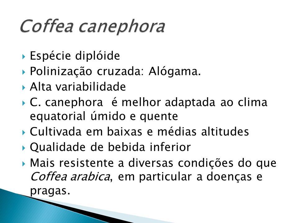 Coffea canephora Espécie diplóide Polinização cruzada: Alógama.