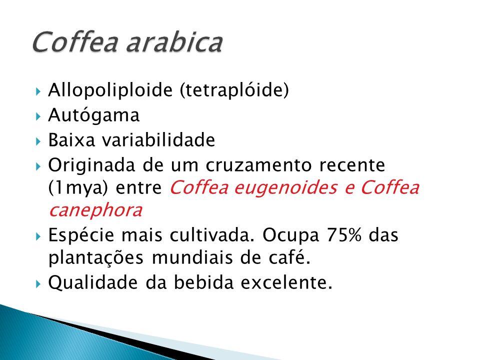 Coffea arabica Allopoliploide (tetraplóide) Autógama
