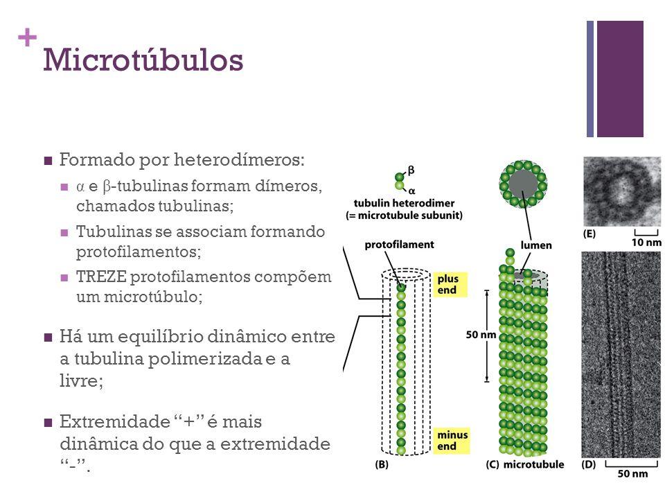 Microtúbulos Formado por heterodímeros: