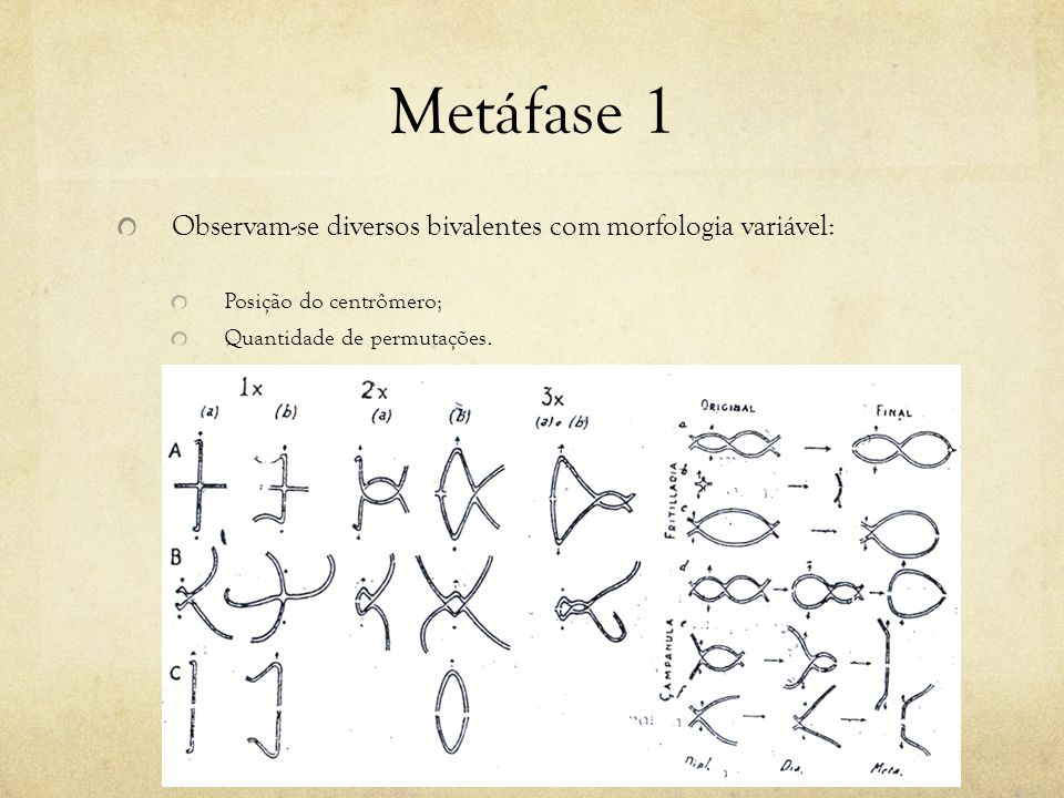 Metáfase 1 Observam-se diversos bivalentes com morfologia variável: