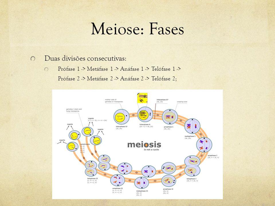 Meiose: Fases Duas divisões consecutivas: