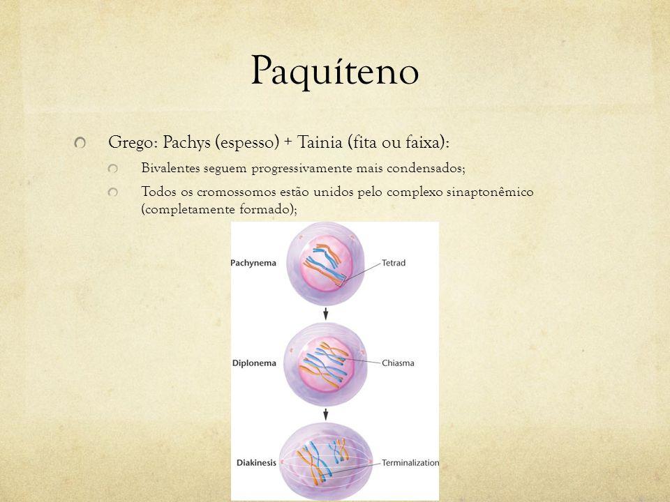 Paquíteno Grego: Pachys (espesso) + Tainia (fita ou faixa):