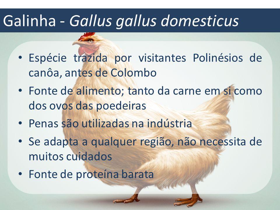 Galinha - Gallus gallus domesticus