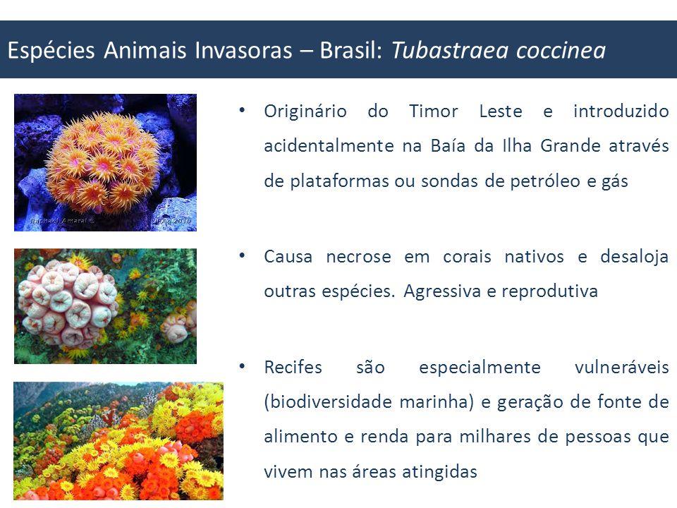 Espécies Animais Invasoras – Brasil: Tubastraea coccinea