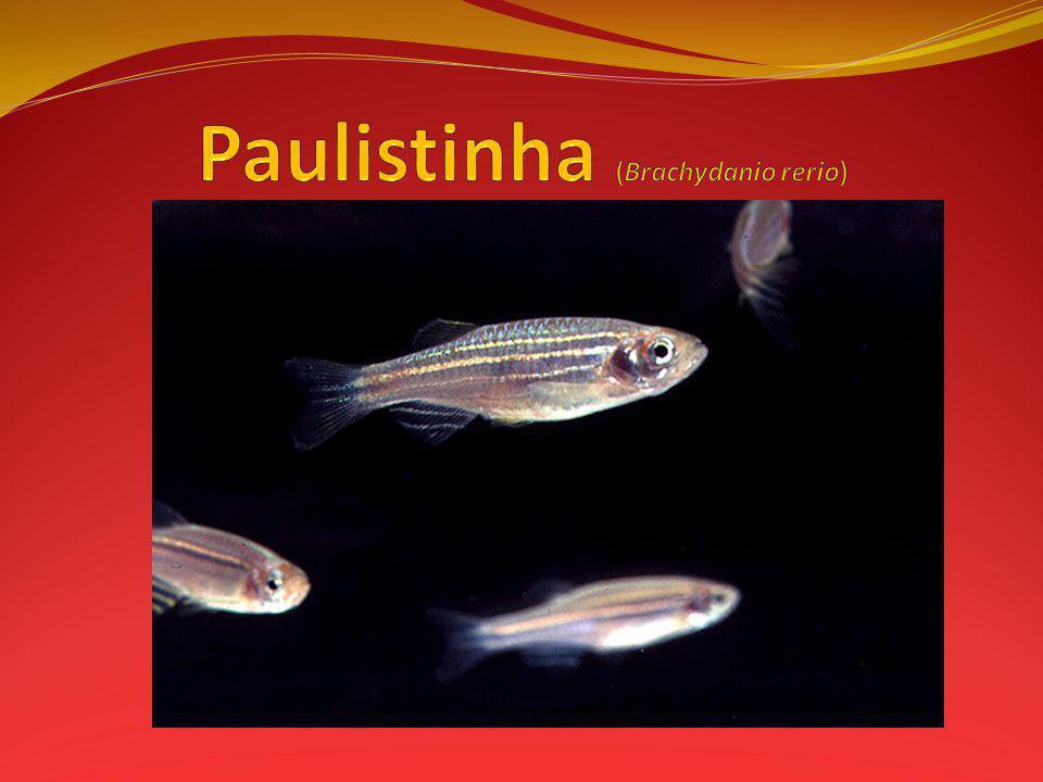Paulistinha (Brachydanio rerio)