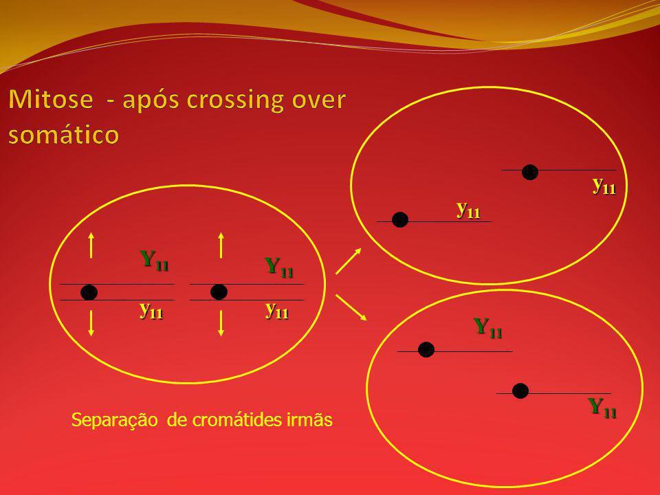 Mitose - após crossing over somático
