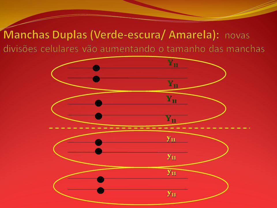 Manchas Duplas (Verde-escura/ Amarela): novas divisões celulares vão aumentando o tamanho das manchas