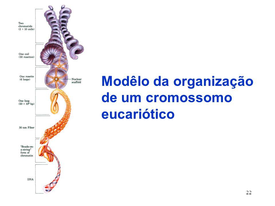 Modêlo da organização de um cromossomo eucariótico