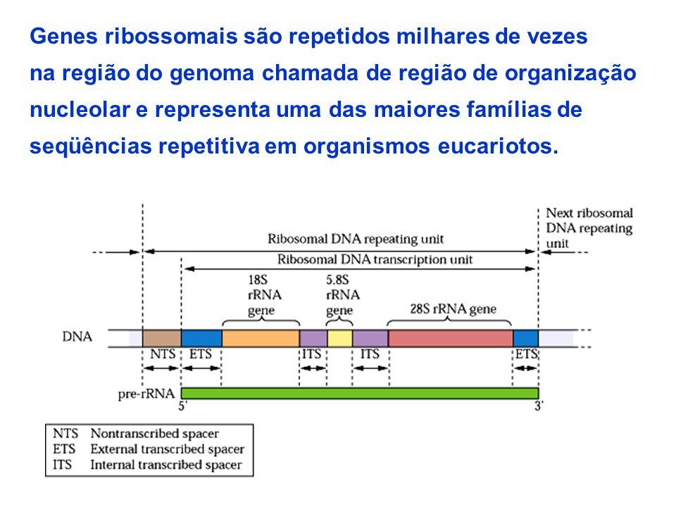 Genes ribossomais são repetidos milhares de vezes