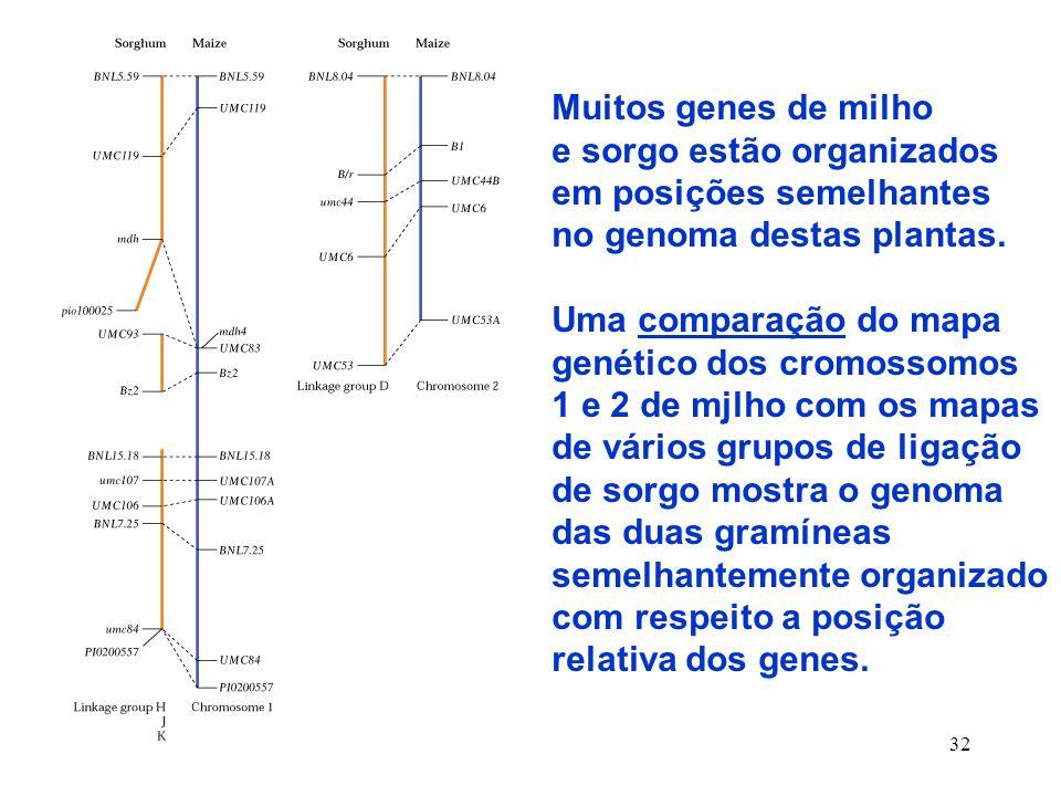 Muitos genes de milho e sorgo estão organizados. em posições semelhantes. no genoma destas plantas.