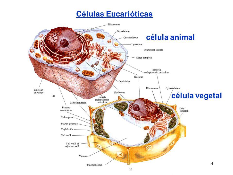 Células Eucarióticas célula animal célula vegetal