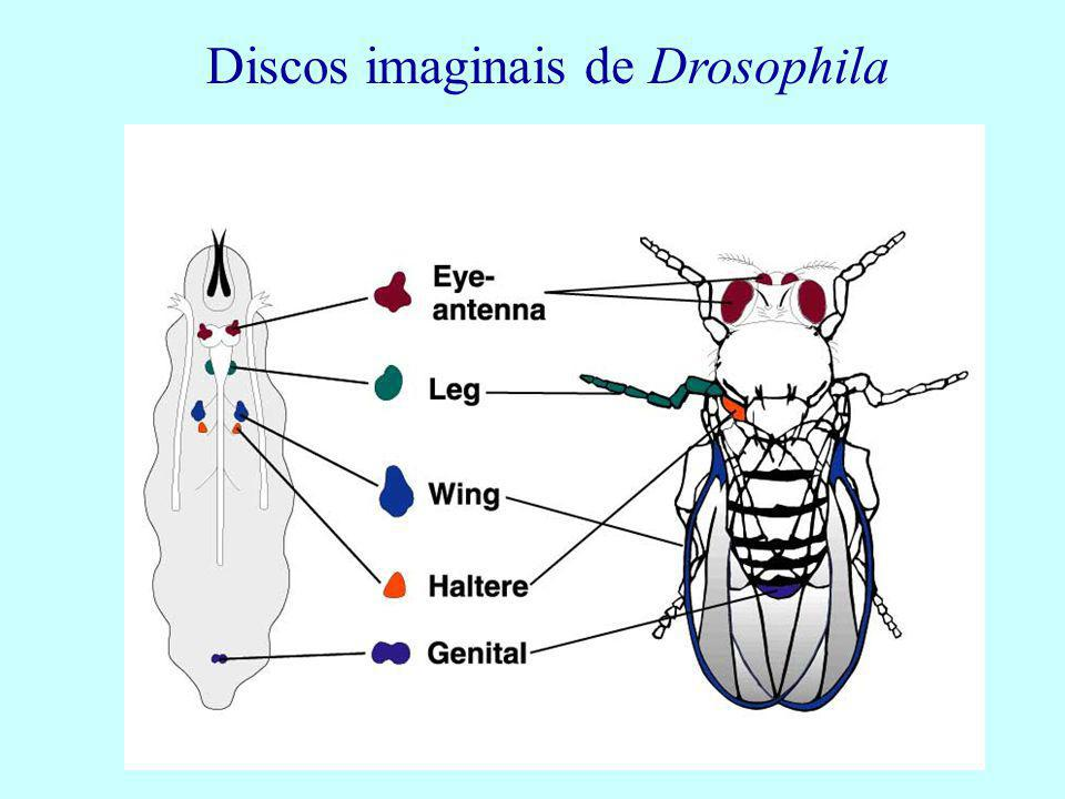 Discos imaginais de Drosophila