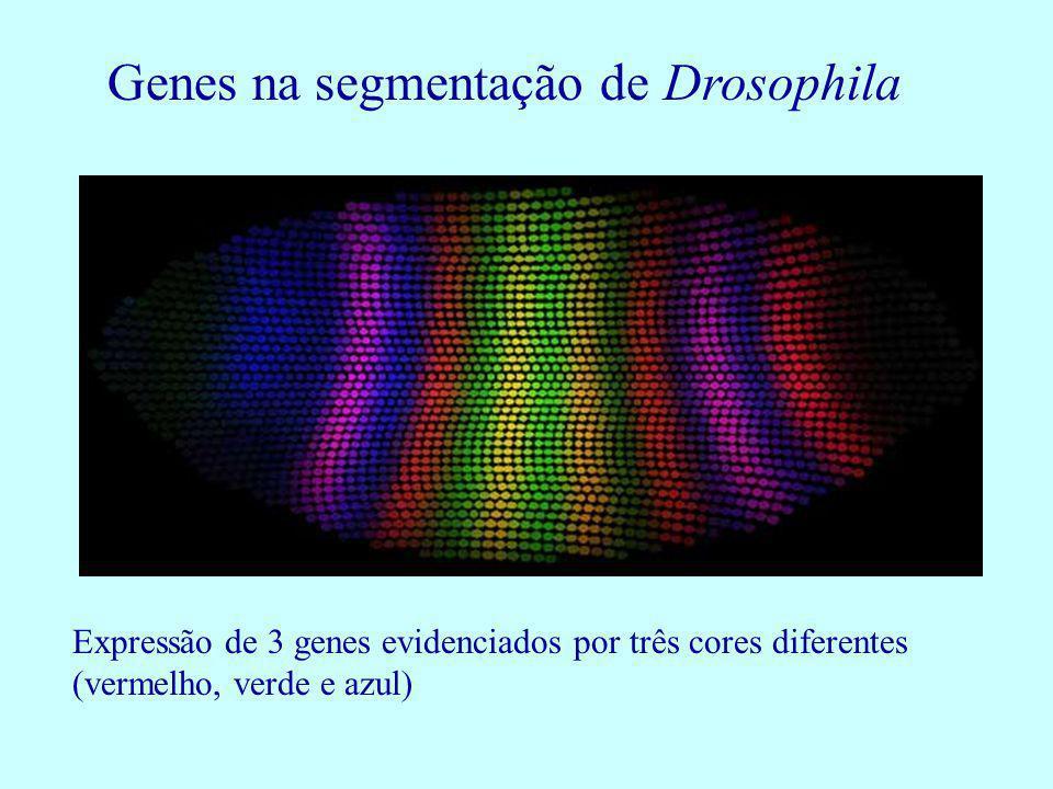 Genes na segmentação de Drosophila