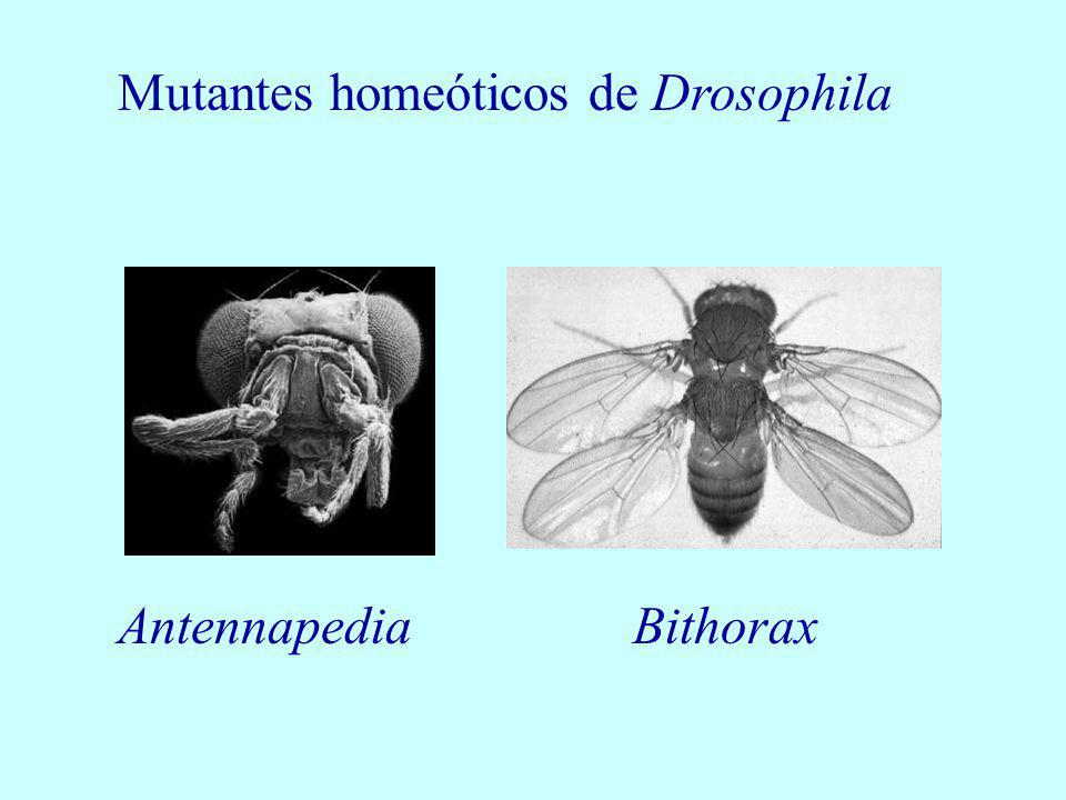 Mutantes homeóticos de Drosophila
