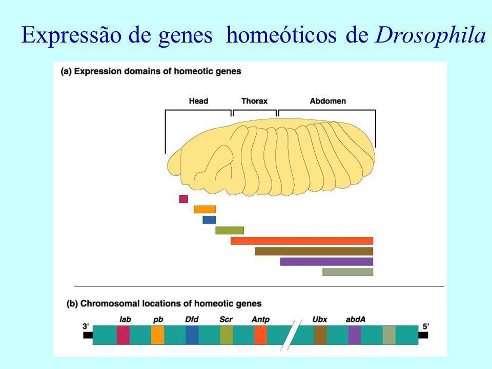 Expressão de genes homeóticos de Drosophila