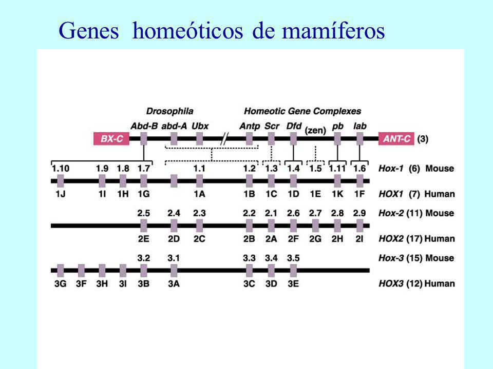 Genes homeóticos de mamíferos