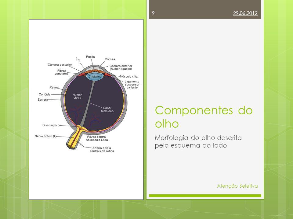 Componentes do olho Morfologia do olho descrita pelo esquema ao lado
