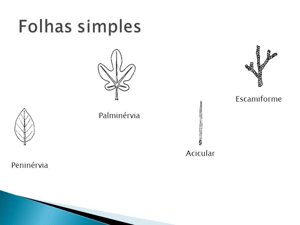 Folhas simples Escamiforme Palminérvia Acicular Peninérvia