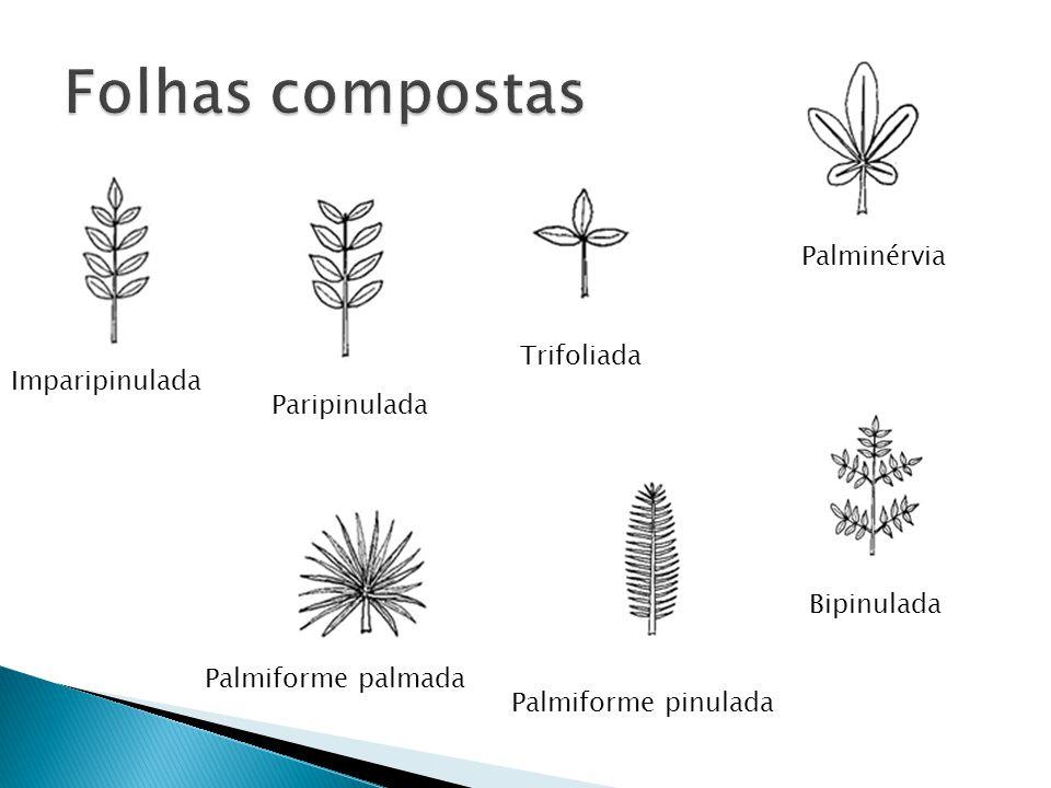 Folhas compostas Palminérvia Trifoliada Imparipinulada Paripinulada