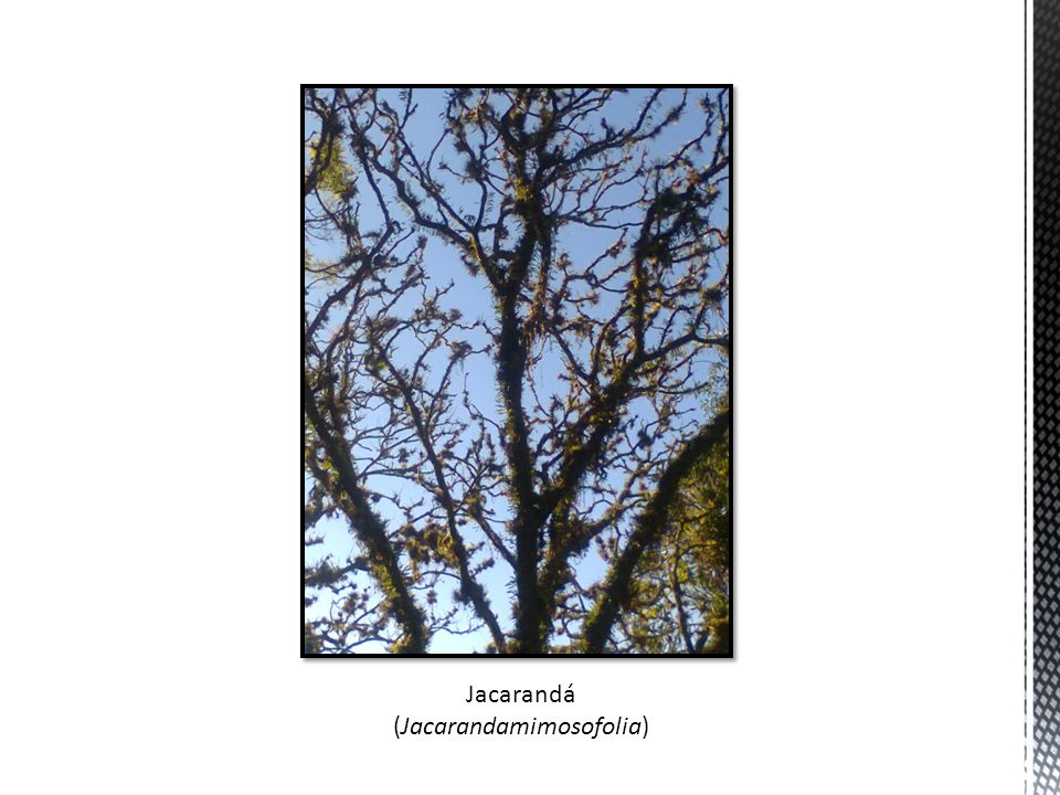 (Jacarandamimosofolia)