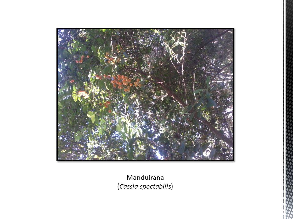 Manduirana (Cassia spectabilis)
