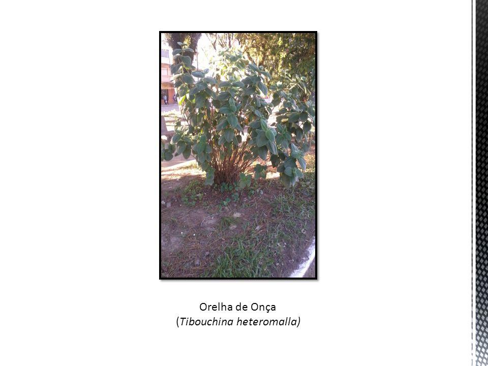 (Tibouchina heteromalla)