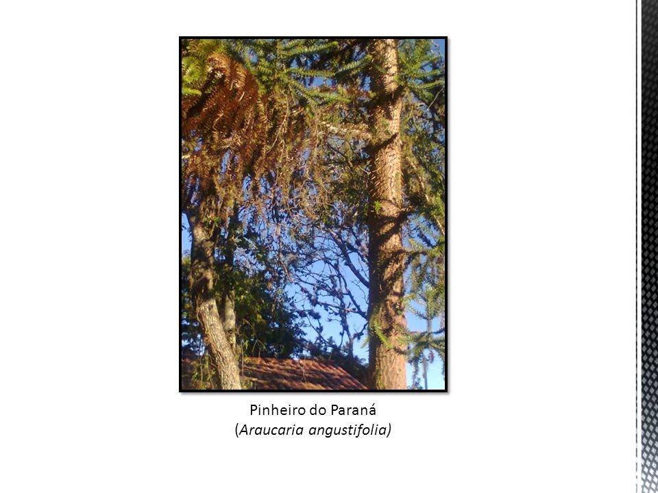(Araucaria angustifolia)