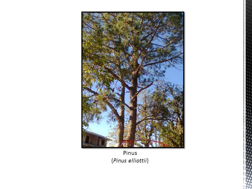 Pinus (Pinus elliottii)