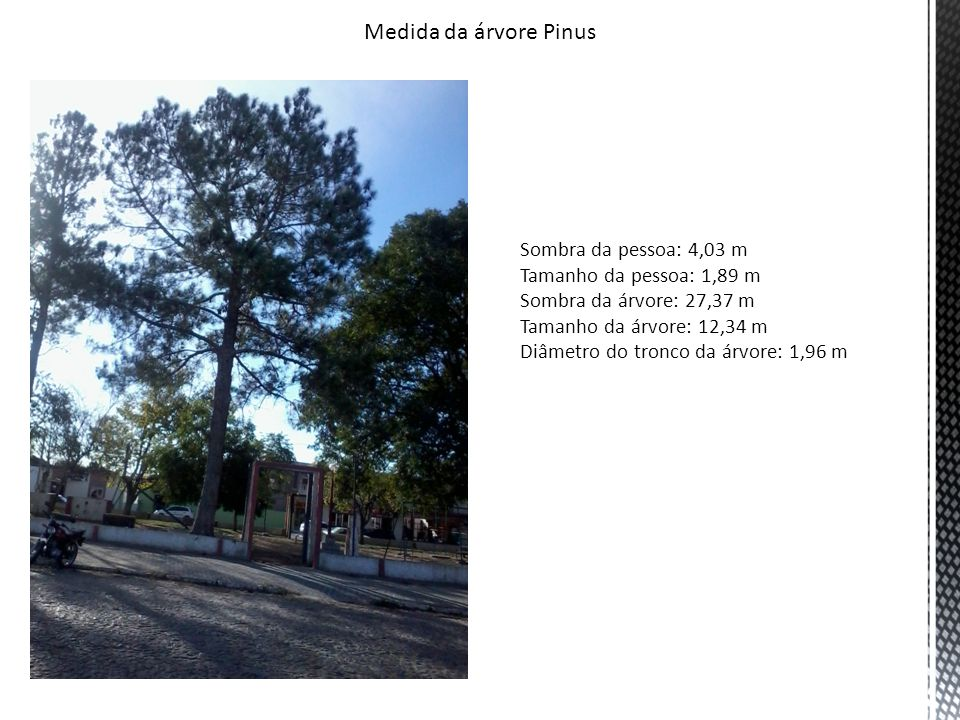 Medida da árvore Pinus Sombra da pessoa: 4,03 m