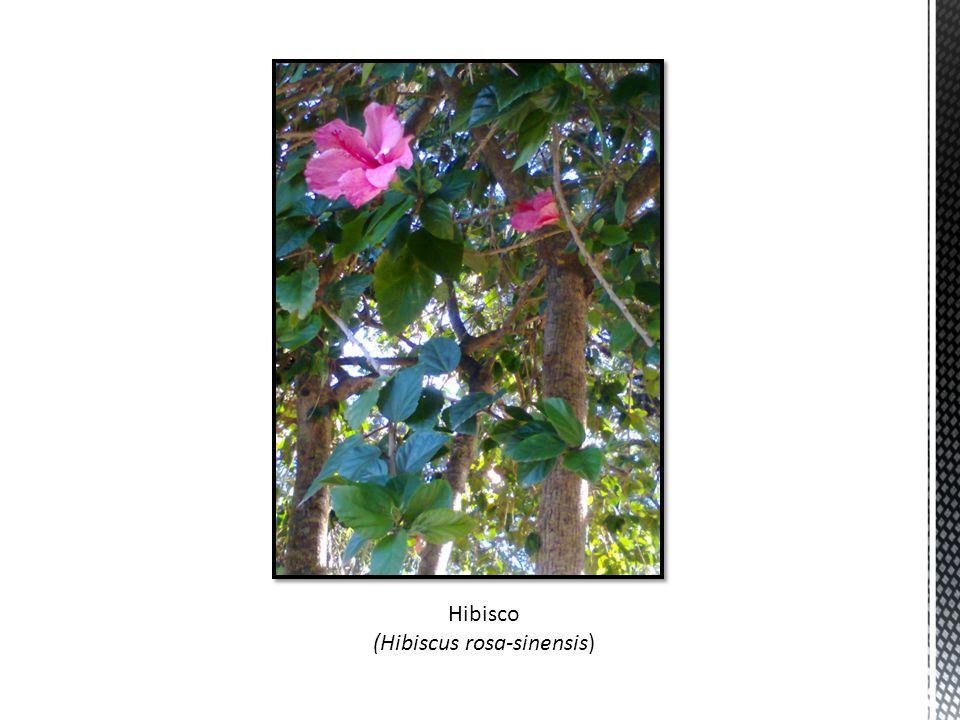 (Hibiscus rosa-sinensis)