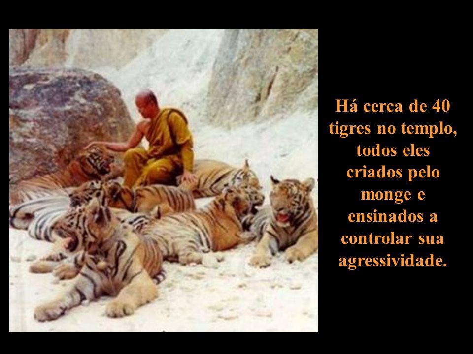 Há cerca de 40 tigres no templo, todos eles criados pelo monge e ensinados a controlar sua agressividade.