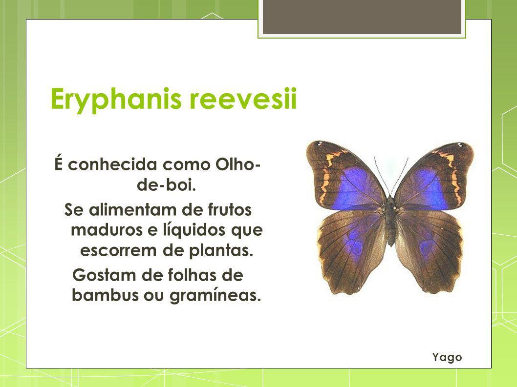 Eryphanis reevesii É conhecida como Olho- de-boi.