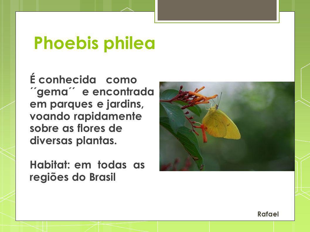 Phoebis philea É conhecida como ´´gema´´ e encontrada em parques e jardins, voando rapidamente sobre as flores de diversas plantas.
