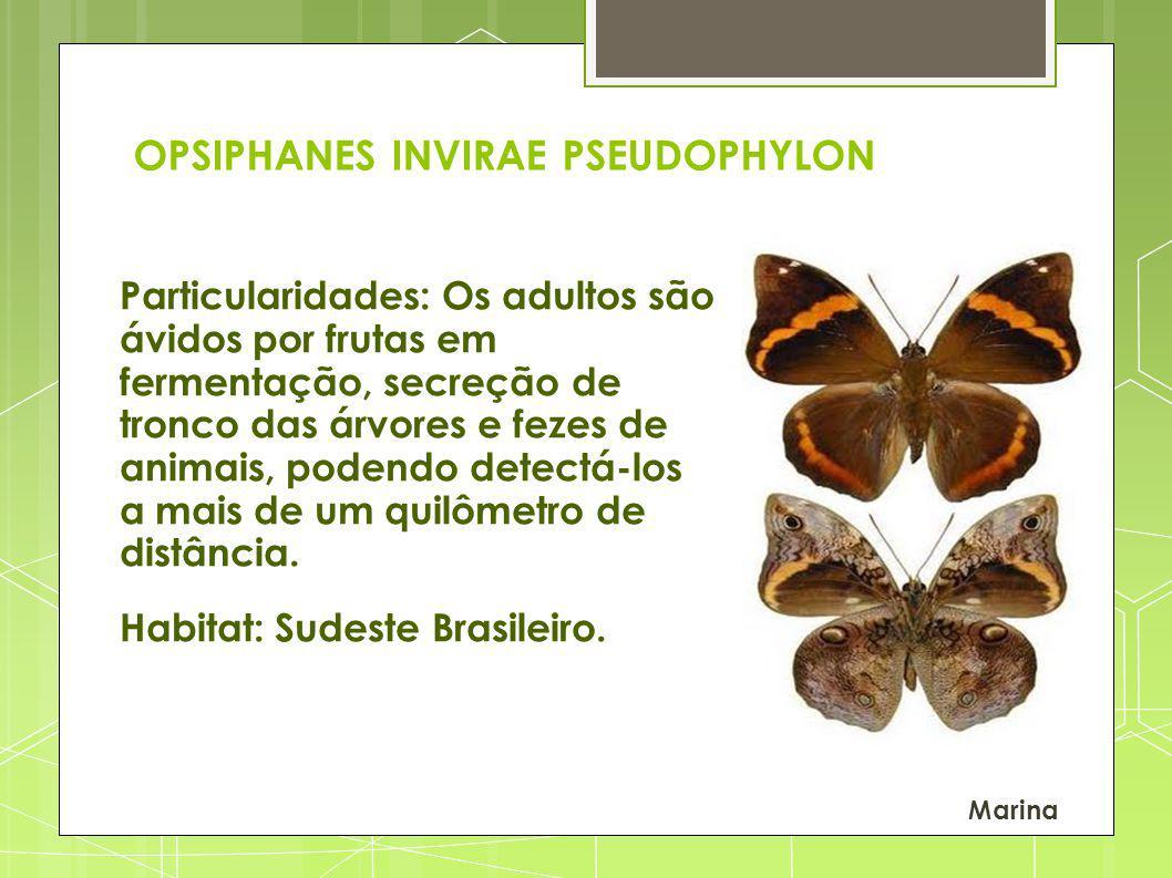 OPSIPHANES INVIRAE PSEUDOPHYLON