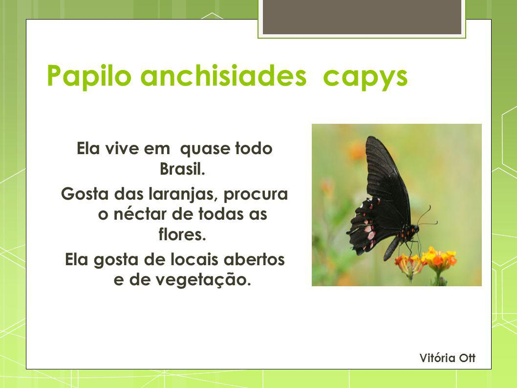 Papilo anchisiades capys