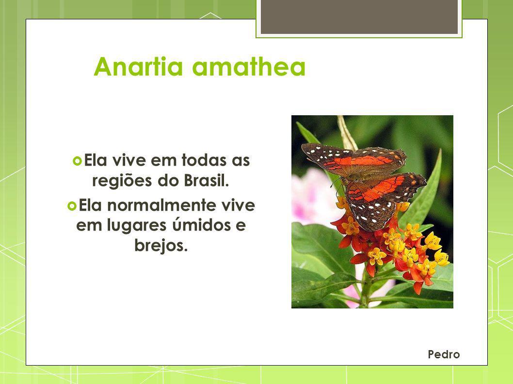 Anartia amathea Ela vive em todas as regiões do Brasil.