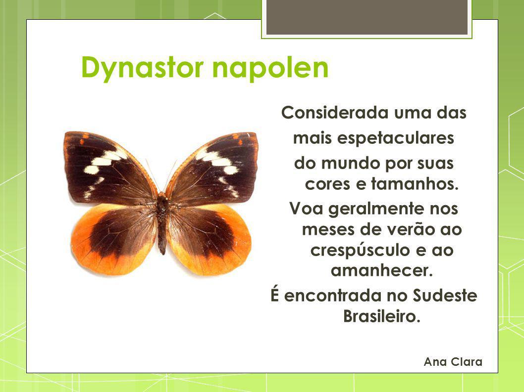 Dynastor napolen Considerada uma das mais espetaculares