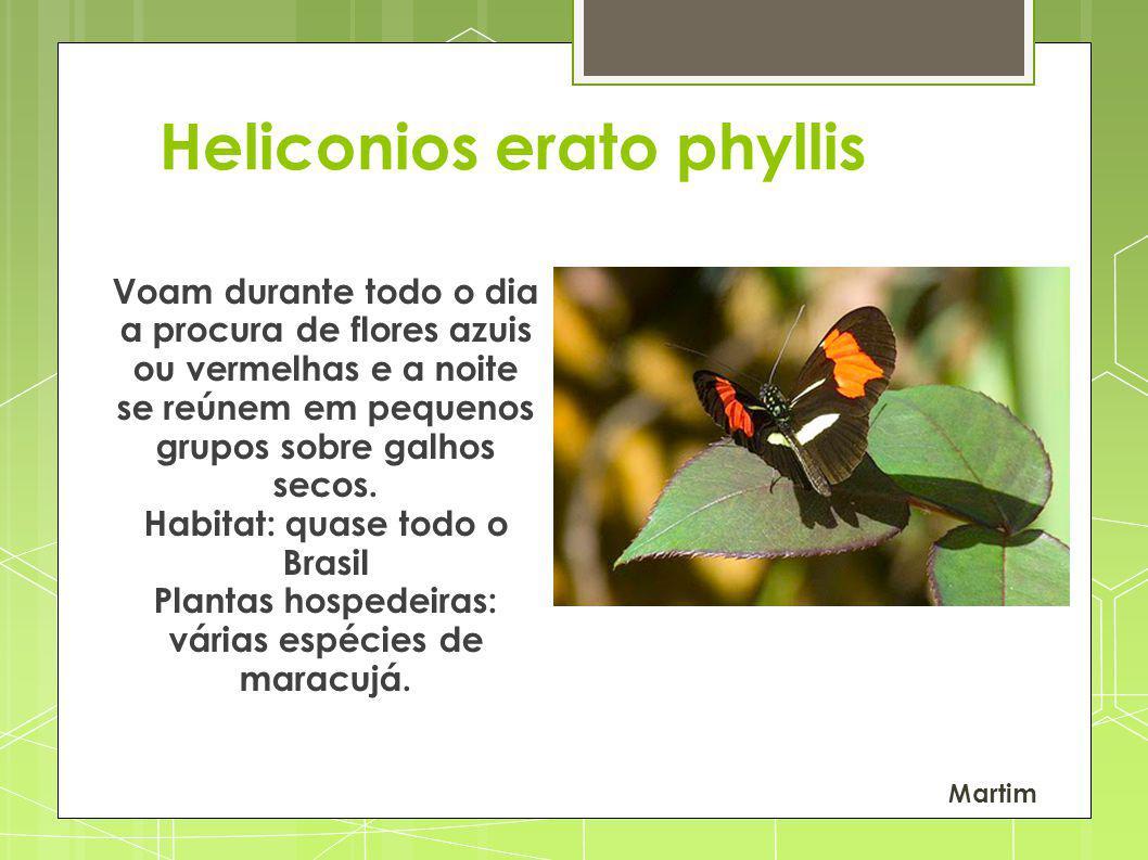 Heliconios erato phyllis