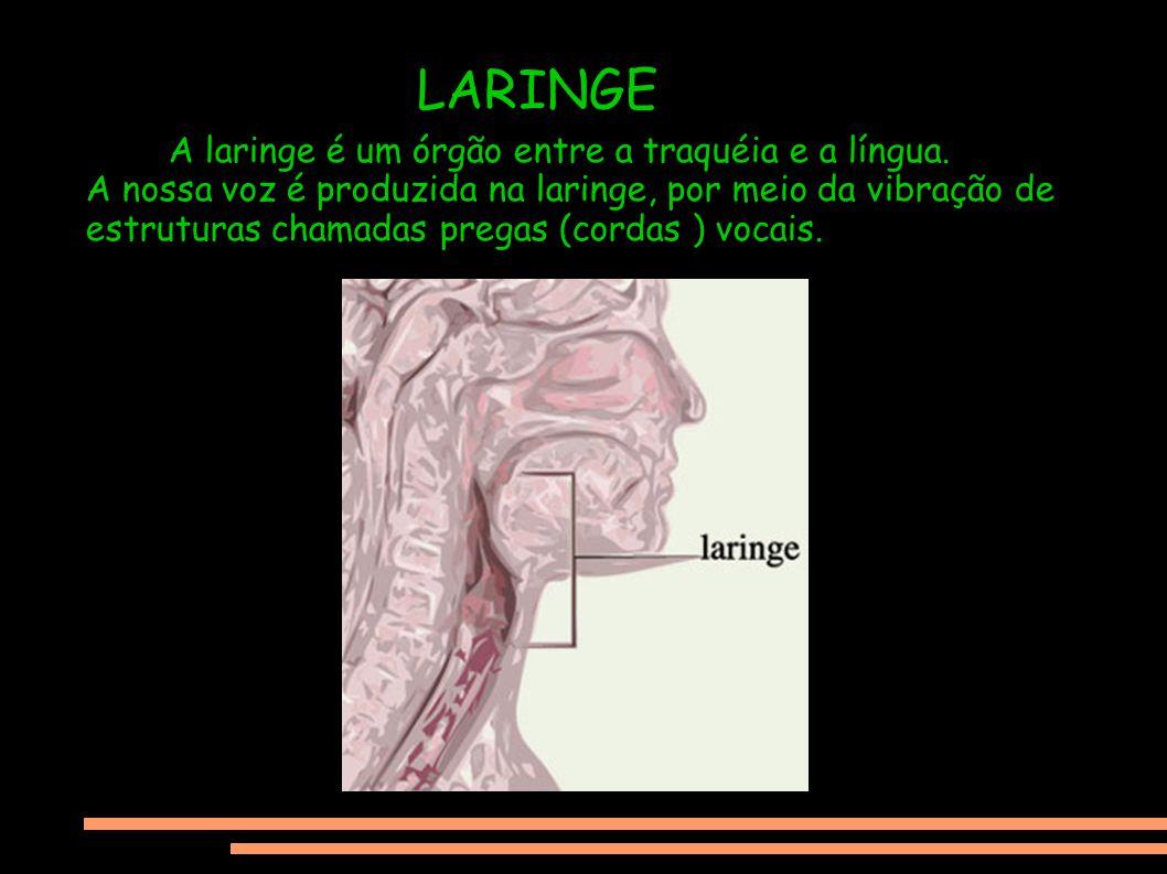 LARINGE A laringe é um órgão entre a traquéia e a língua.