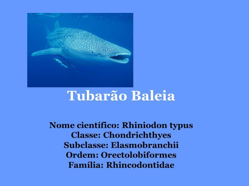 Tubarão Baleia Nome científico: Rhiniodon typus Classe: Chondrichthyes Subclasse: Elasmobranchii Ordem: Orectolobiformes Família: Rhincodontidae.