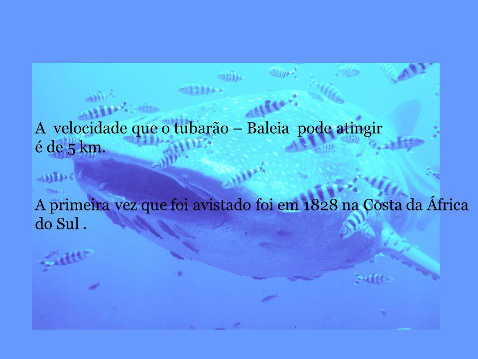 A velocidade que o tubarão – Baleia pode atingir