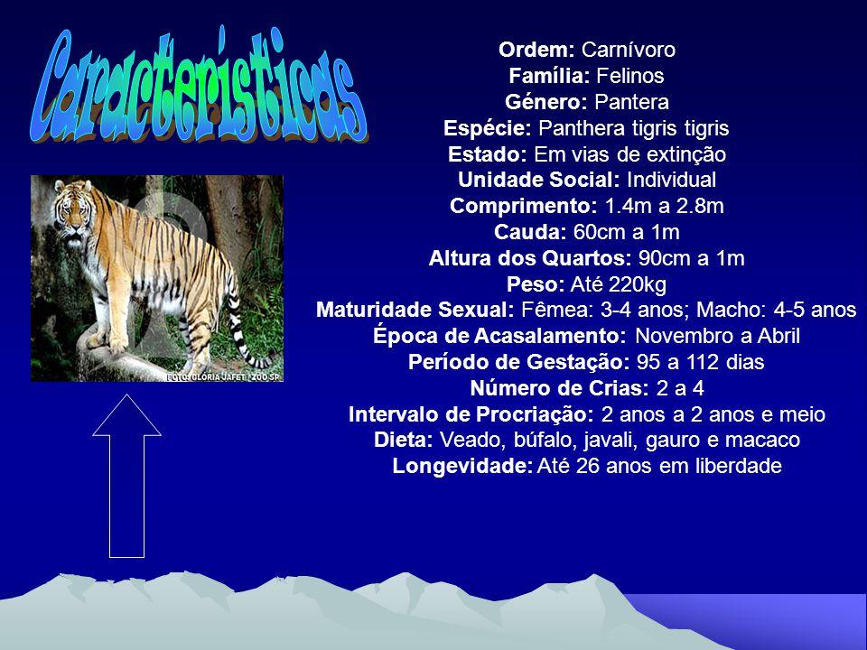 Características Ordem: Carnívoro Família: Felinos Género: Pantera