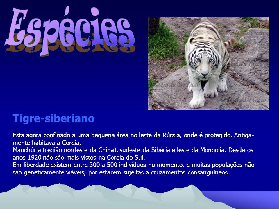 Espécies Tigre-siberiano