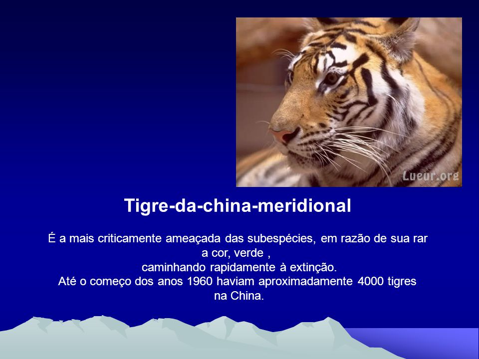 Tigre-da-china-meridional